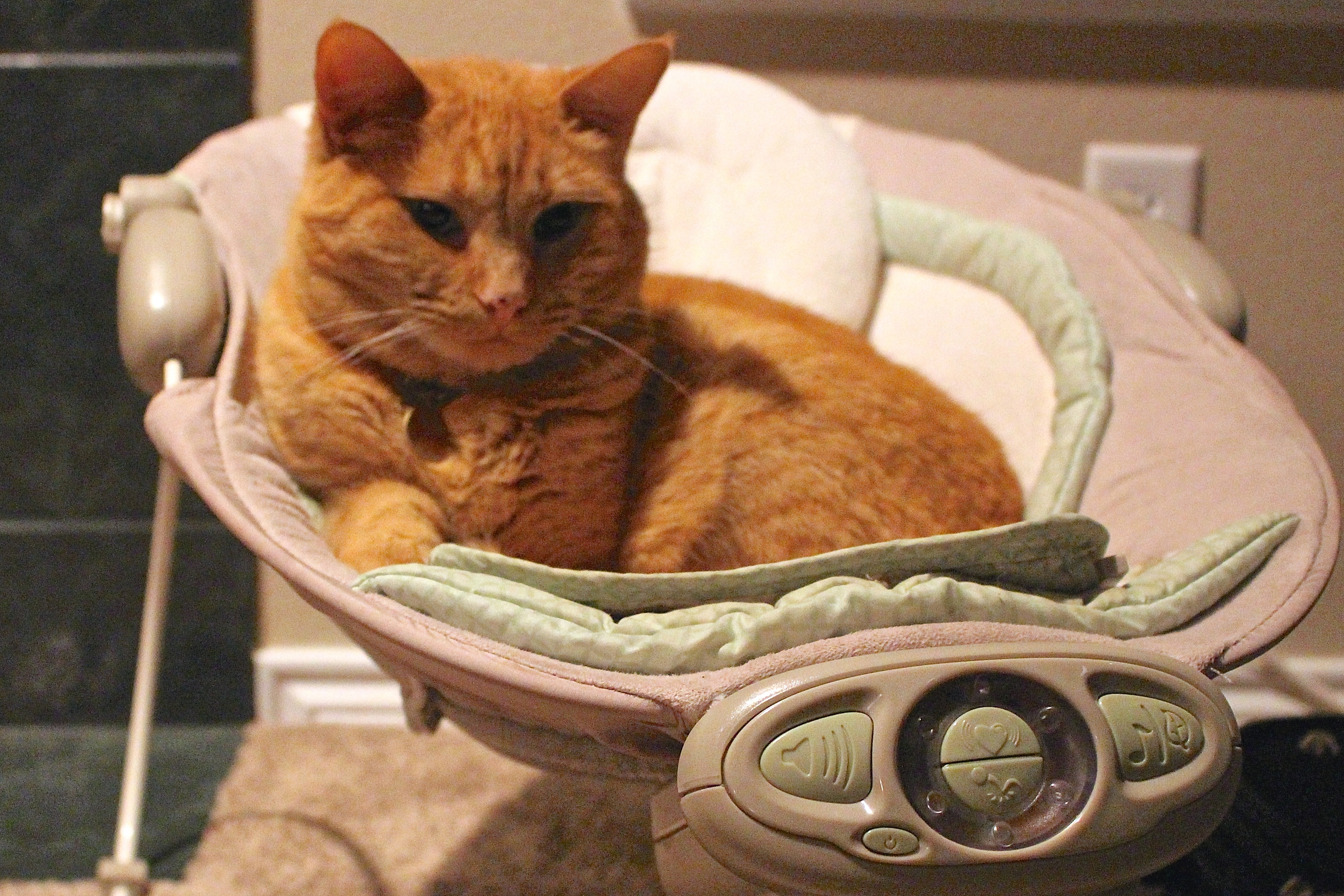 Cat in baby seat