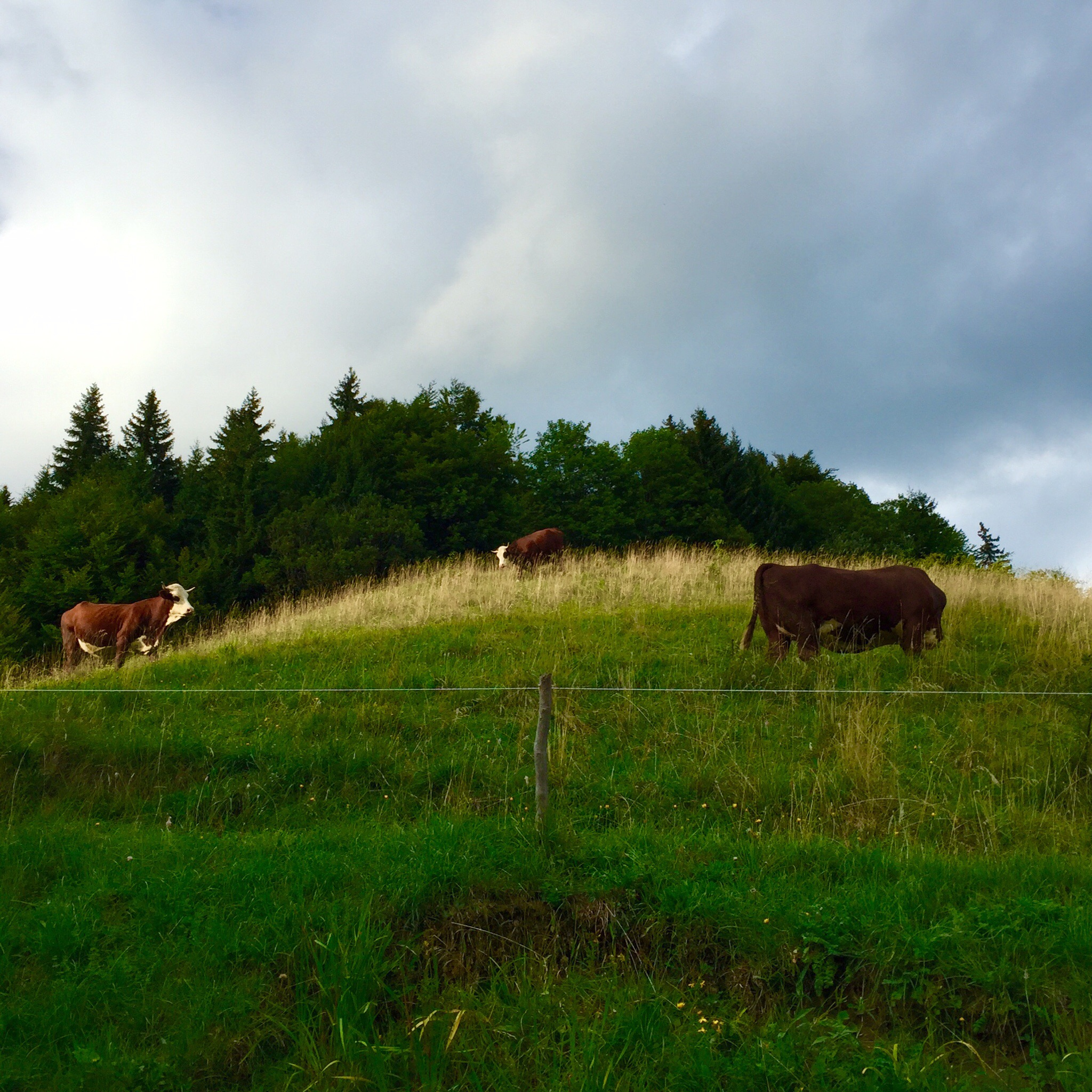 The cows with their cowbells on the hill above the chalet