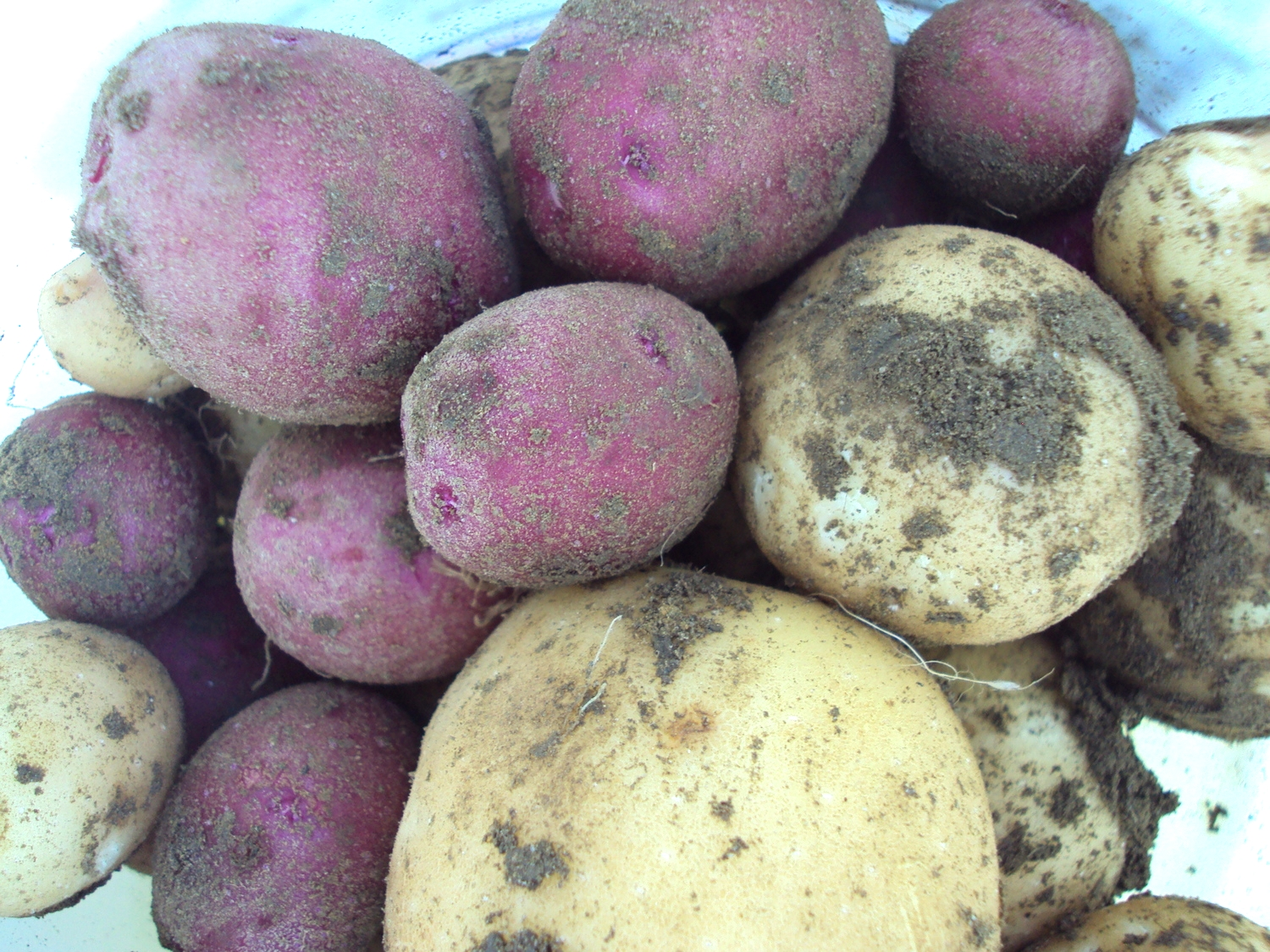 First potatoes of the 2014 CSA season