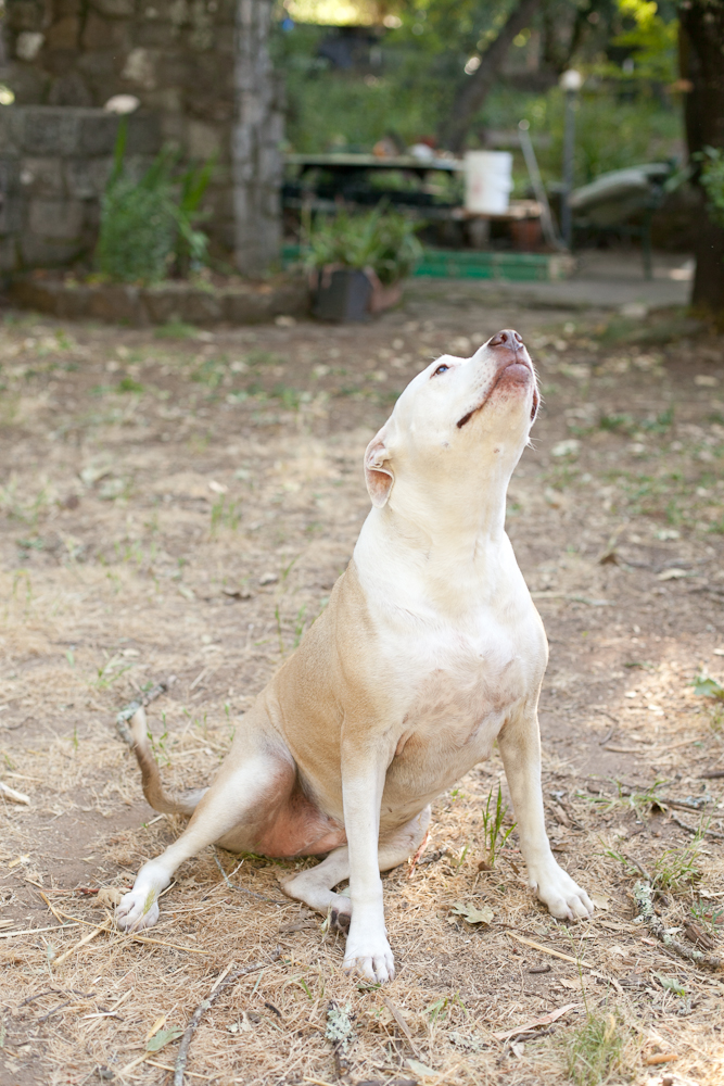 Pit bull sitting, looking up