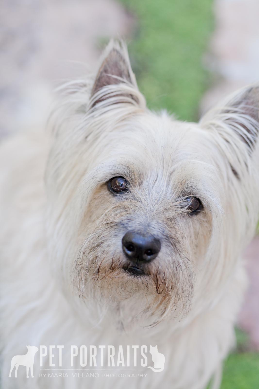 cute Cairn Terrier Santa Rosa dog photography