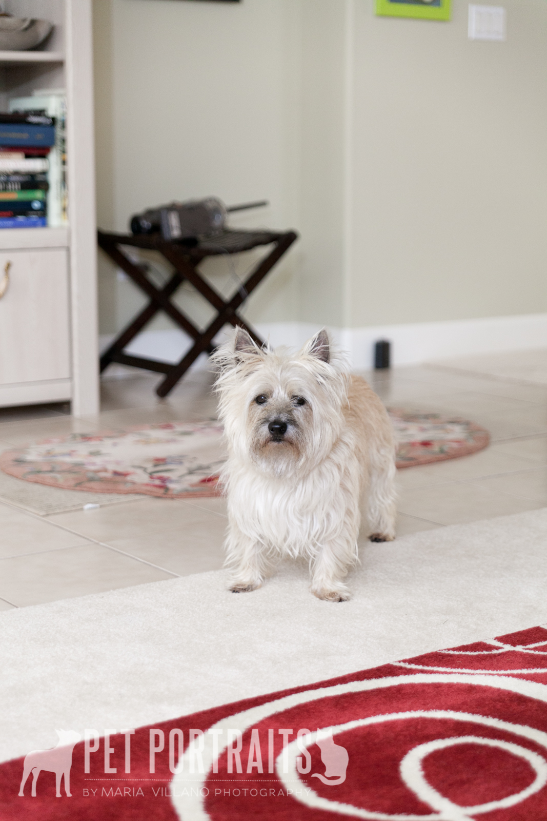 cairn terrier standing on red carpet, santa rosa dog photographer