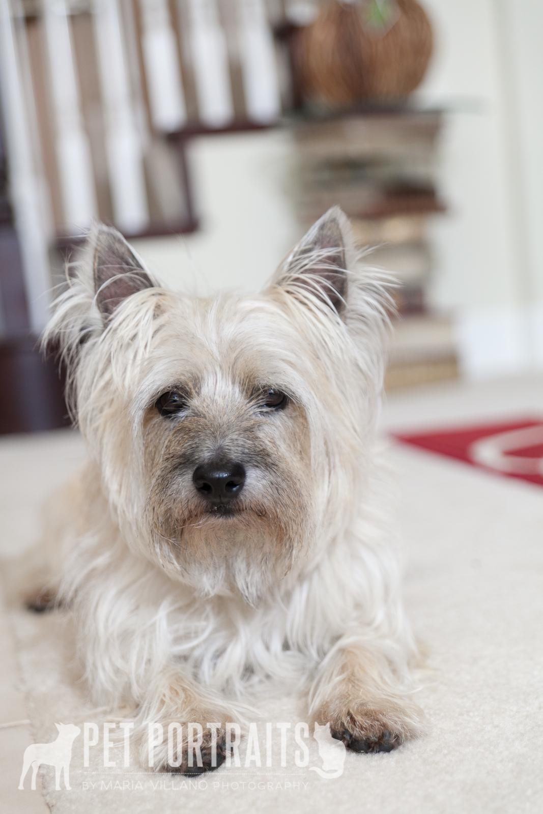 sitting cairn terrier, marin county dog photographer,