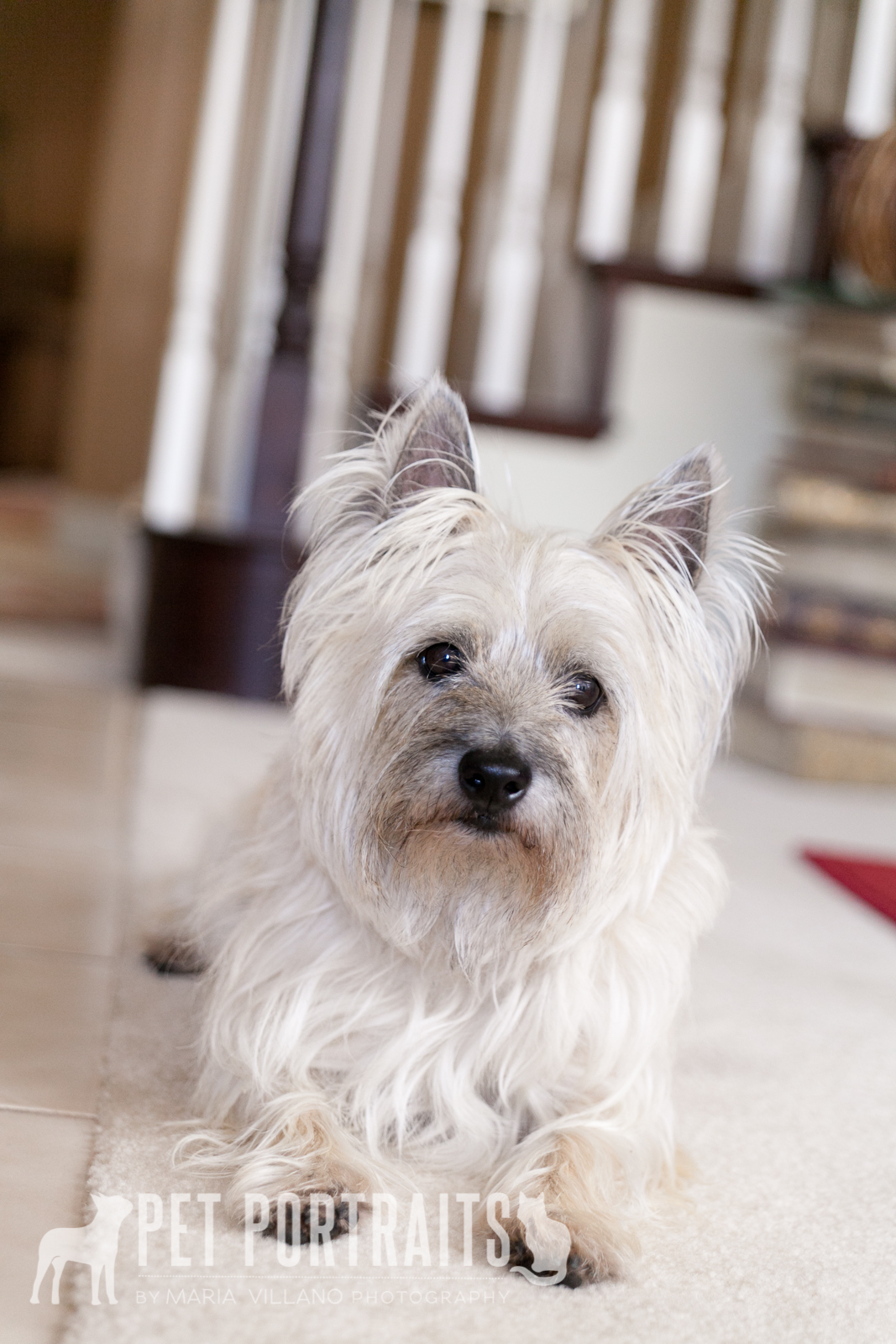 sitting cairn terrier, novato dog photographer
