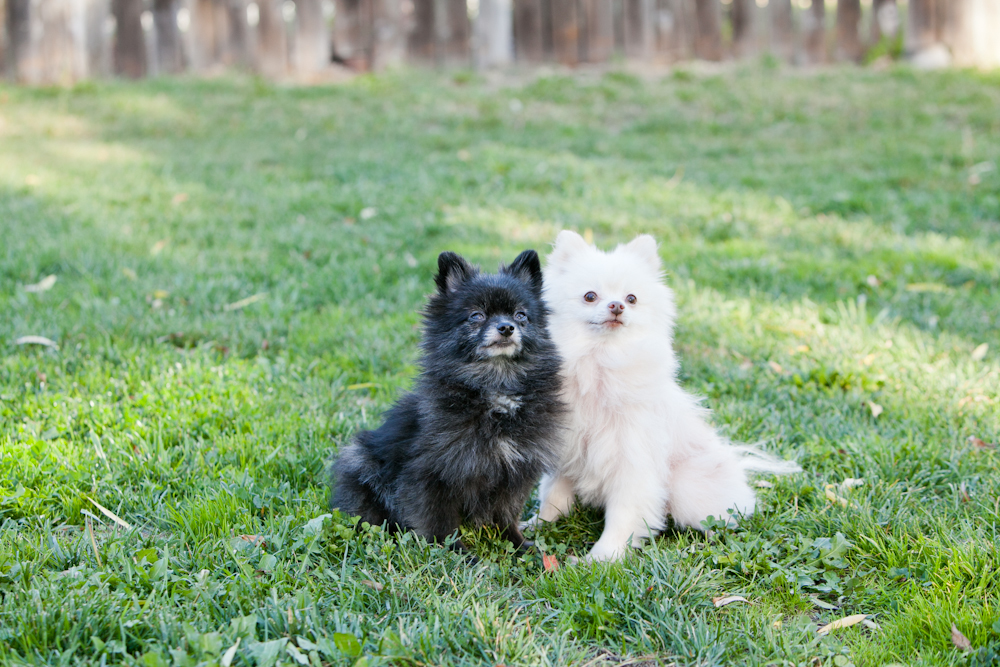 pomeranians sitting together santa rosa