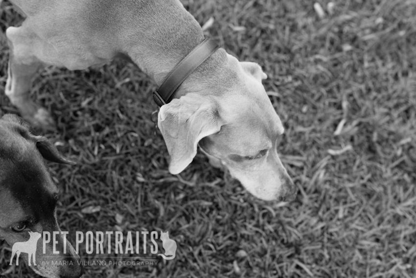 weimeraner dog sniffing grass pet photography