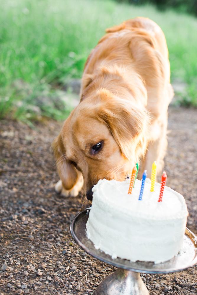 Golden Retriever birthday eating birthday cake Three Dog Bakery