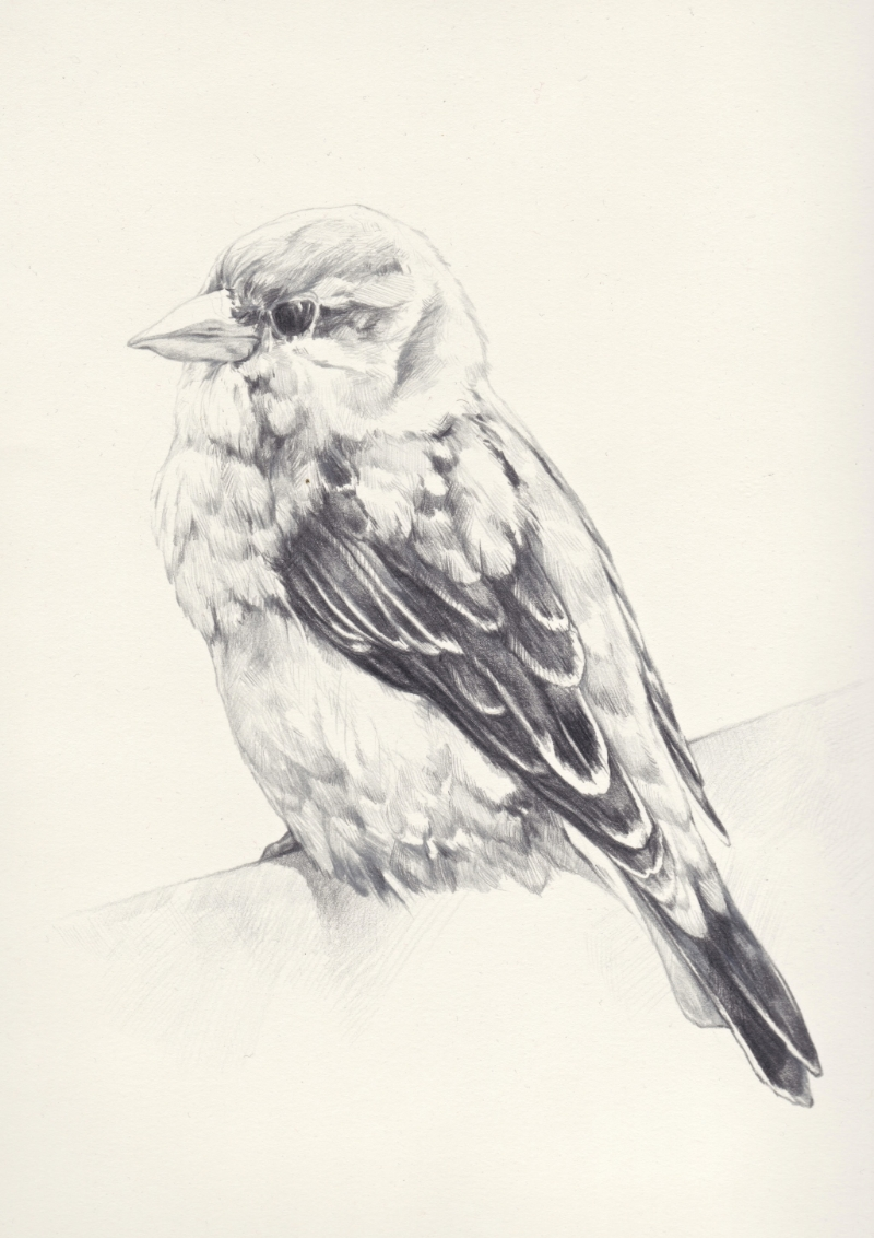 Black Bird, Francis.jpg