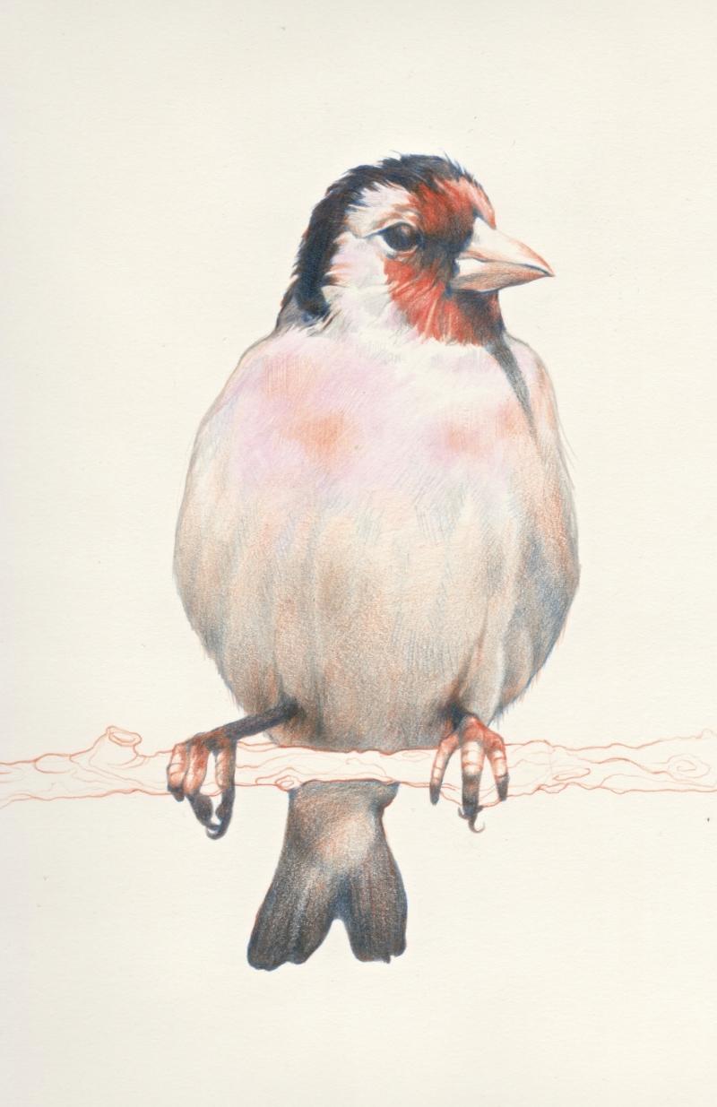 Red Bird, Francis.jpg