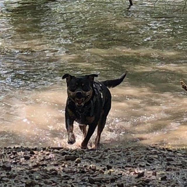 "Moody says ""Who doesn't love a good swim and a mud mask?"" 😂 #dogsrunning #dogsinwater #dogsofinstagram #dogsofbuffalo #dogparkfun #enjoyinglife #ellicottislandbarkpark #friendsofellicott"