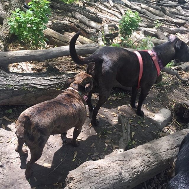 Hello, have we met? 😁 This is Cricket meeting a new friend and going for a swim at the beautiful Ellicott Island Bark Park.  #buttsniffersanonymous #dogsofinstagram #dogsofbuffalo #labradorretriever #dogparkfun #dogparkdays #ellicottislandbarkpark #friendsofellicott
