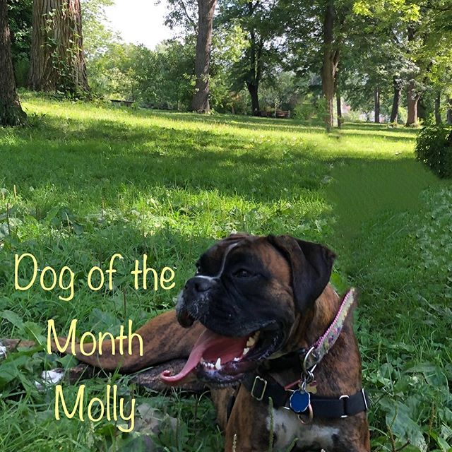 Congratulations to Molly Fey, she is our Dog of the Month for September!  #ellicottislandbarkpark #friendsofellicott #dogofthemonth #boxersofinstagram #boxerdog #dogsofinstagram #dogsofbuffalo #dogparks