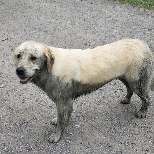 Play in the mud because life is too short to always have clean fur. 😂 #goldenretriever #bigmuddygoldenretrievers #dirtydogs #dogparkfun #dogsofinstagram #dogsofbuffalo #friendsofellicott #ellicottislandbarkpark