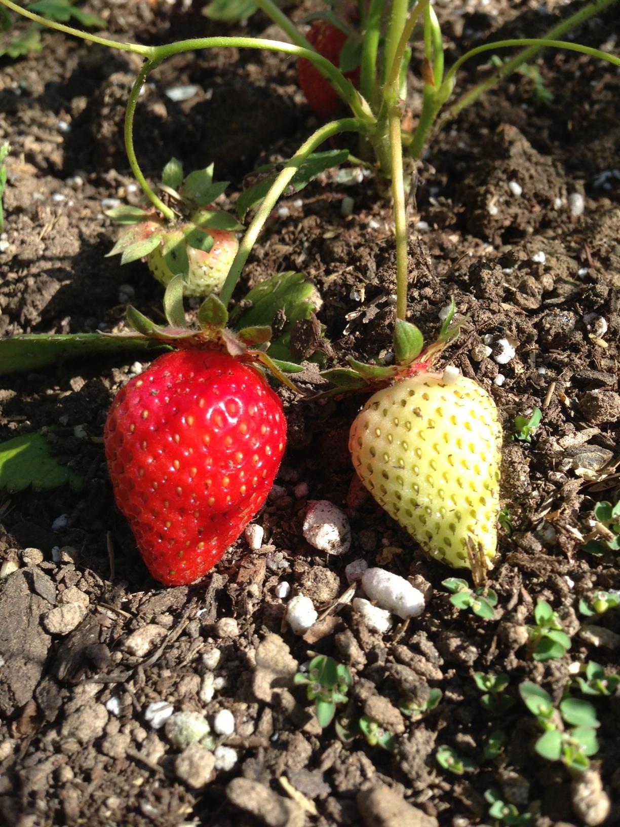 Strawberries in the garden at my work