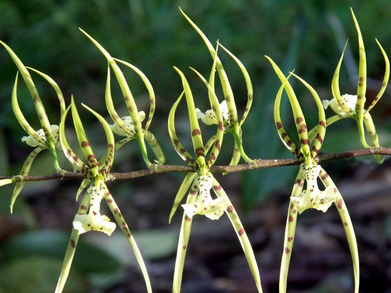 spiderorchids.jpg
