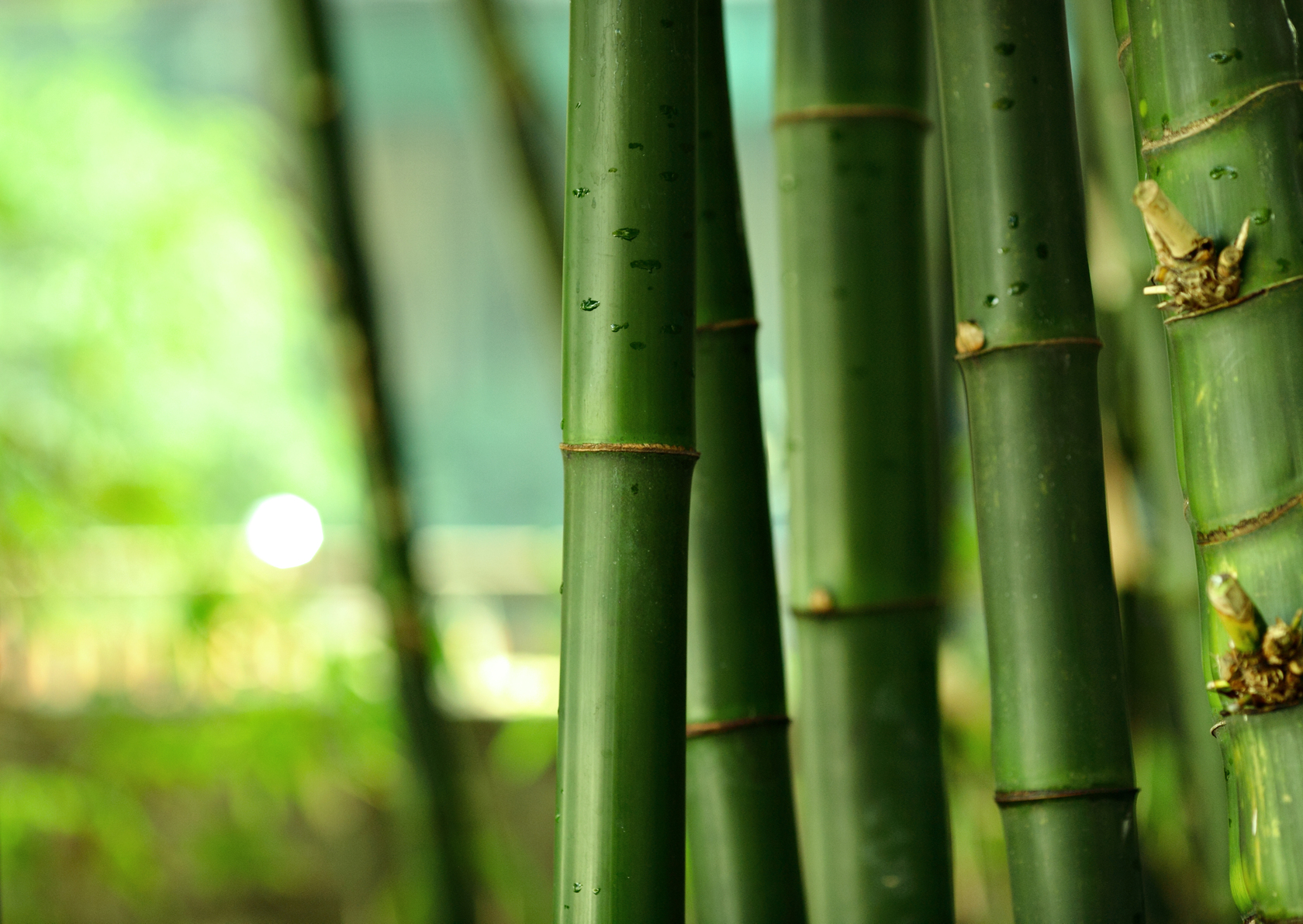 Bamboo Extract