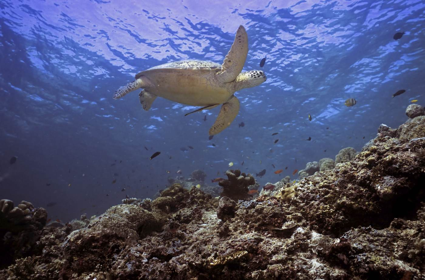 Turtle diving at Borneo sailing yacht charter.jpeg