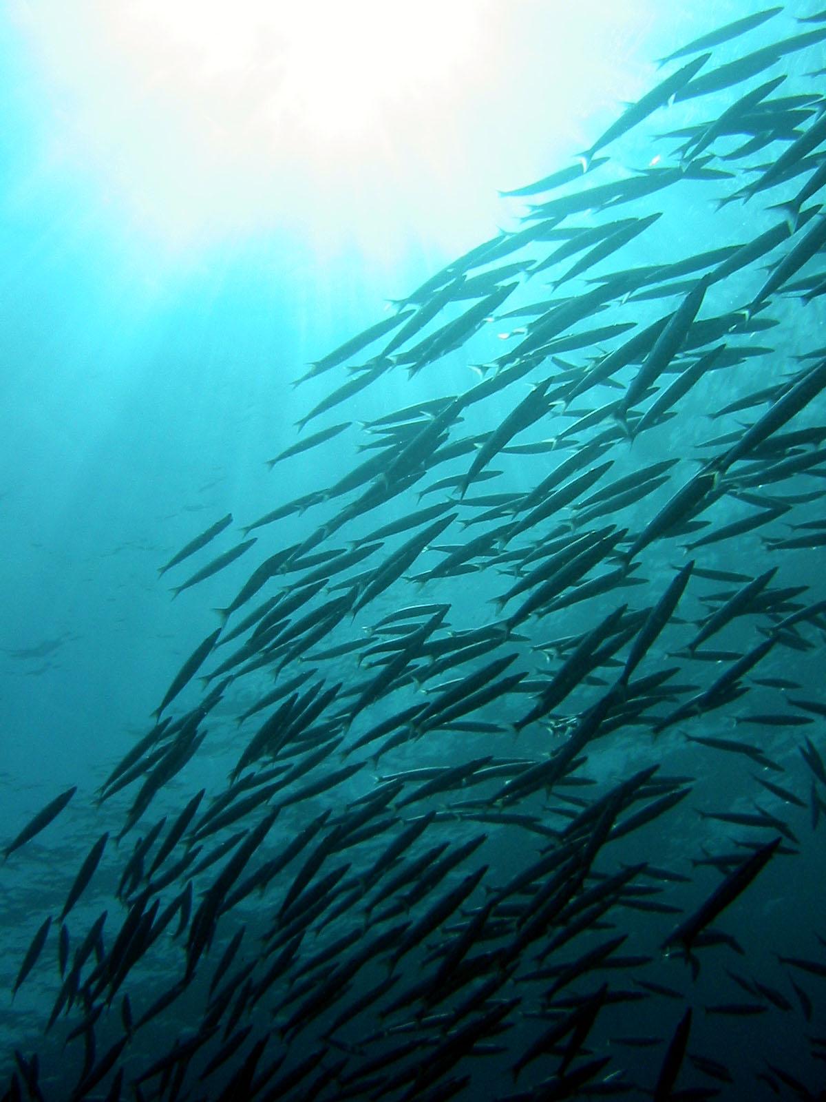 Yellowtail barracuda in the Mergui Archipelago