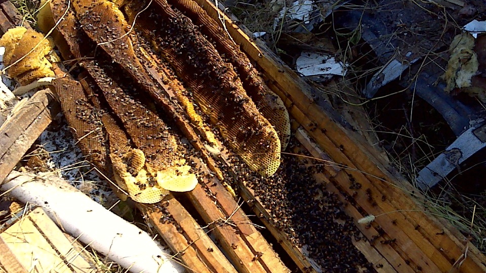 First Africanized honey bees in Georgia