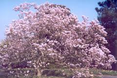 magnolia jane.jpg