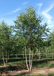 Fox River Birch.jpg
