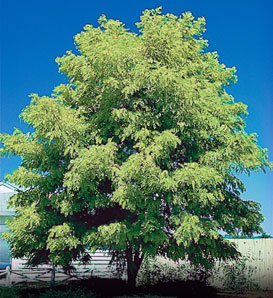 Thornless-Honeylocust_1.jpg