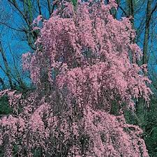 Double Weeping Cherry.jpg