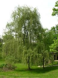 Babylon Weeping Willow.jpg