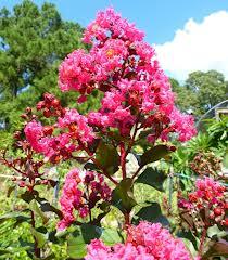 Pink Velour Crepe Myrtle.jpg