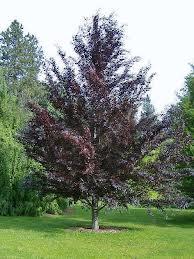 Riversii Beech Tree.jpg
