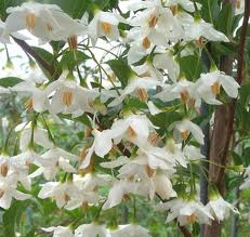 Japanese Snowbell Tree.jpg