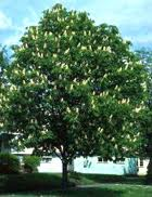 Yellow Buckeye Tree.jpg