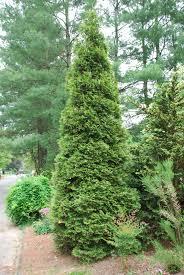 Green Giant Arborvitae.jpg