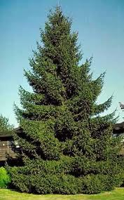 Norway Spruce.jpg