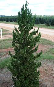 Black Dragon Cryptomeria.jpg