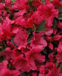 Girard Crimson Azaleas.jpg