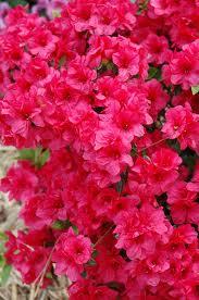 Hershey Red Azalea.jpg