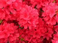 Hino Crimson Azalea.jpg