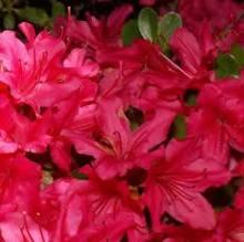 Hino degiri azalea.jpg