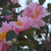 Pink Icicle Camellia.jpg