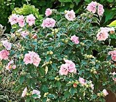 Rose of Sharon Althea Hibiscus.jpg