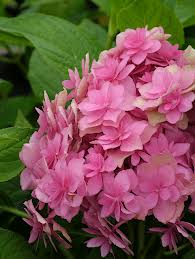 Double Delights Expression Hydrangea.jpg