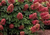 Ruby Slippers Oakleaf Hydrangea.jpg