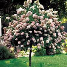 Quickfire Hydrangea Tree.jpg