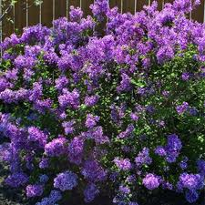 Bloomerang Lilac.jpg