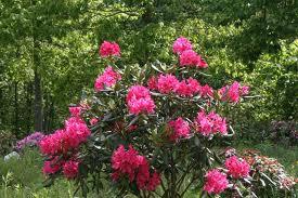 Nova Zembla Rhododendron.jpg