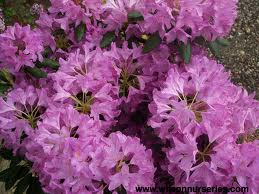 English Roseum Rhododendron.jpg