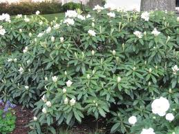 Chionoides Rhododendron.jpg