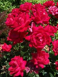 Double Knockout Rose.jpg
