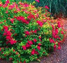 Neon Flash Spirea.jpg